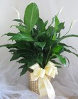Spathiphyllum Splendor from Joseph Genuardi Florist in Norristown, PA