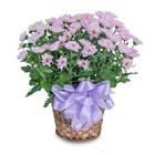 Lavender Chrysanthemum Basket from Joseph Genuardi Florist in Norristown, PA