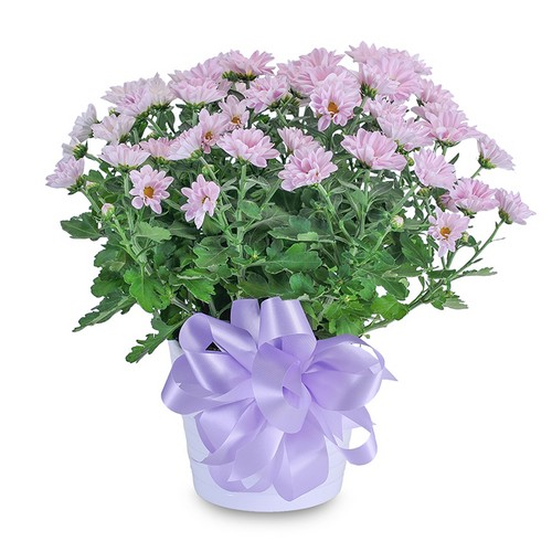 Lavender Chrysanthemum in Ceramic Container from Joseph Genuardi Florist in Norristown, PA