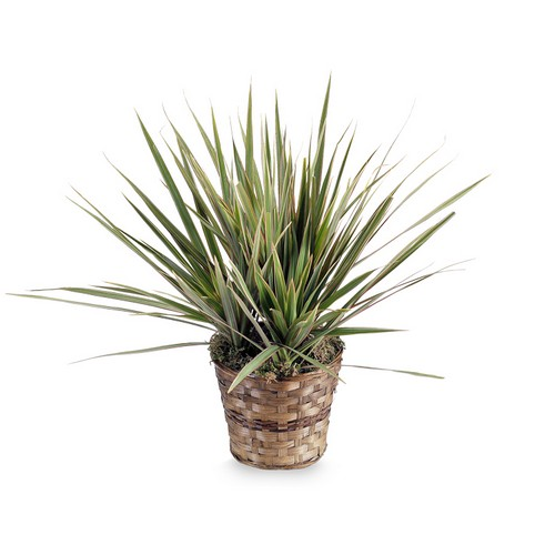 Dracaena Marginata Plant from Joseph Genuardi Florist in Norristown, PA