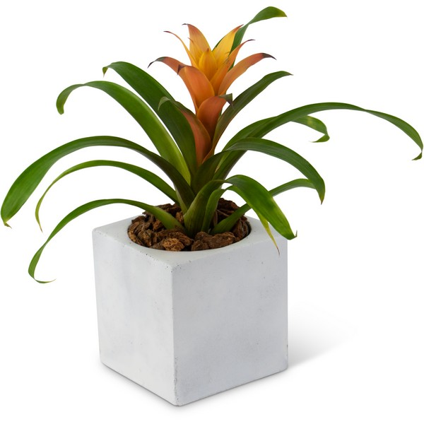 Bromeliad Mini from Joseph Genuardi Florist in Norristown, PA