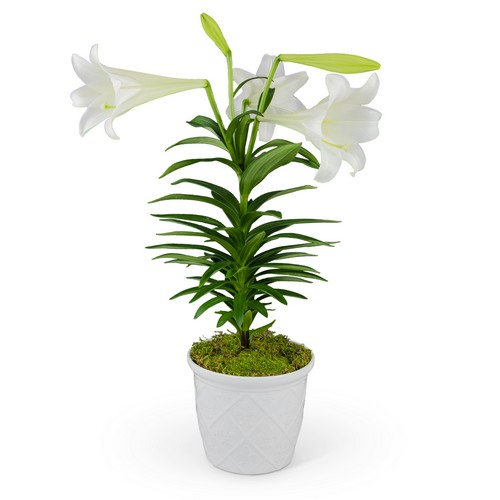 Classic Easter Lily from Joseph Genuardi Florist in Norristown, PA
