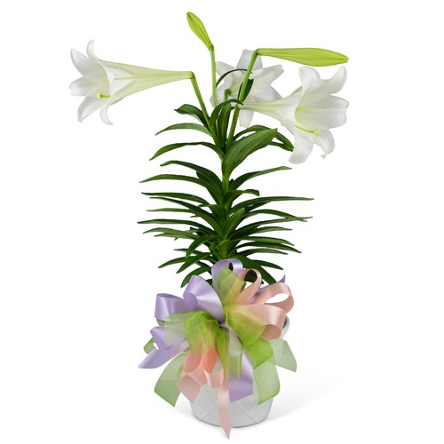 Easter Lily with Bow from Joseph Genuardi Florist in Norristown, PA