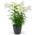 Grande Easter Lily from Joseph Genuardi Florist in Norristown, PA