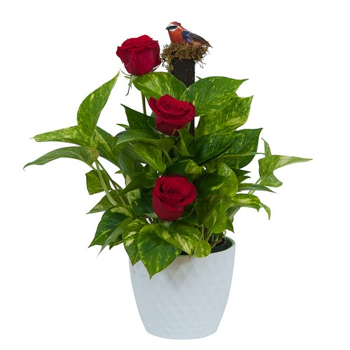 Green plant in Ceramic with Fresh Roses from Joseph Genuardi Florist in Norristown, PA