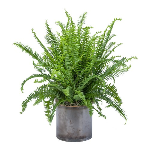 Fern from Joseph Genuardi Florist in Norristown, PA