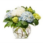 Mighty Hydrangea from Joseph Genuardi Florist in Norristown, PA
